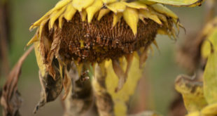dying-sunflower