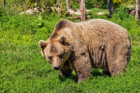 Un bărbat din Azuga a fost omorât de urs. Animalul l-a surprins la alergat
