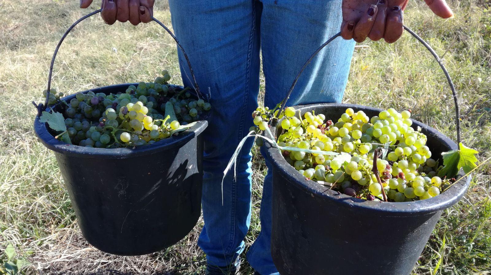Sprijin financiar pentru viticultorii care recoltează înainte de coacere